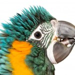 blue-throated-macaw-1