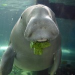Dugong broutant