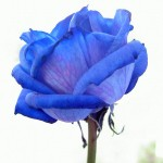 roses_bleues