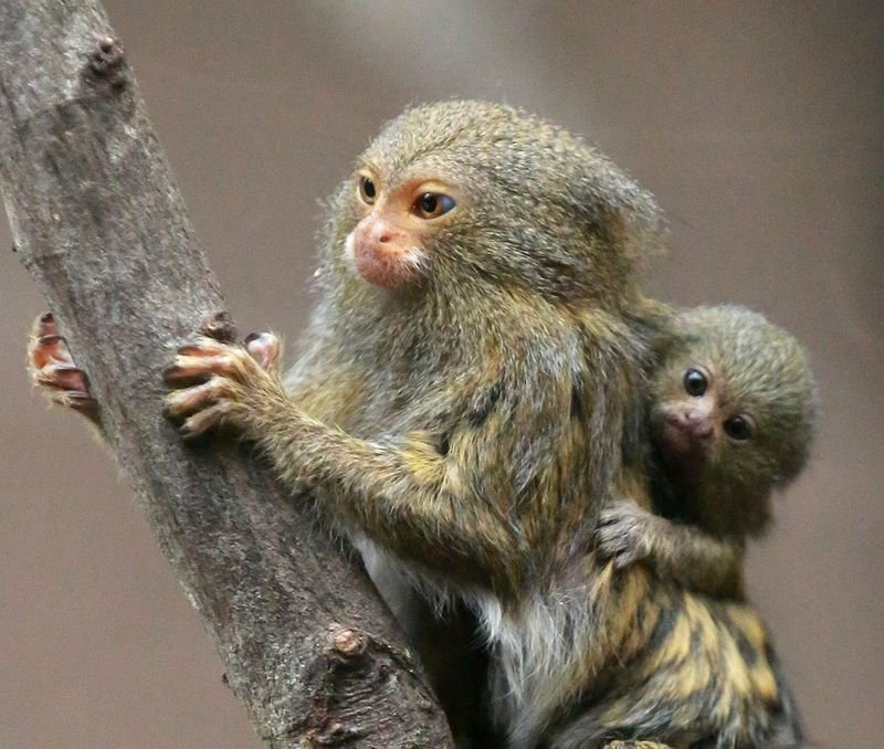 pygmy marmoset coloring pages - photo#32