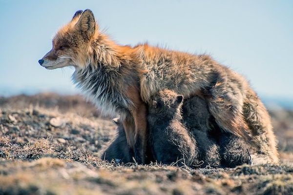 ivan-kislov-fox-photography-12