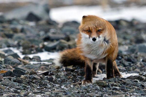 ivan-kislov-fox-photography-7