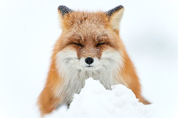 ivan-kislov-fox-photography-8