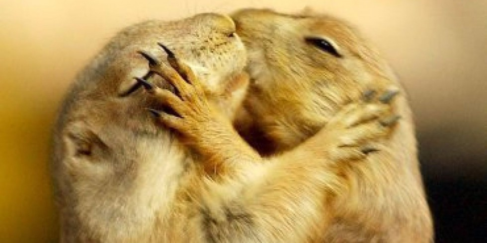 """Kiss Me, Baby: Two prairie dogs on the exchange from 4.7.2003 in Rheinberg (Lower) at the Pet Fair """"Animals and us"""" tenderness."""